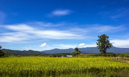 Green Rice field in Chiangmai Royalty Free Stock Photography