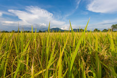 Green rice field and clear blue sky on background. Royalty Free Stock Photography