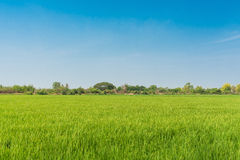 Green rice field and clear blue sky on background Royalty Free Stock Photo