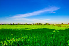 Green rice field with clear blue sky Royalty Free Stock Images
