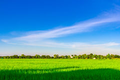 Green rice field with clear blue sky Stock Photos