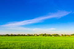 Green rice field with clear blue sky Stock Images