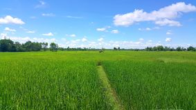 Green rice field on clear blue sky with soft white clouds. Background Stock Images