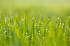 Green Rice Field Close Up. Green Rice Field, captured close enough with the object Royalty Free Stock Images