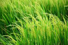 Green rice field. Royalty Free Stock Photo