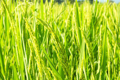 Green rice field. Close up green rice field background Stock Image