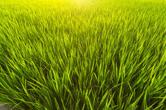 Green rice field close-up. Nature and Agriculture. Stock Image