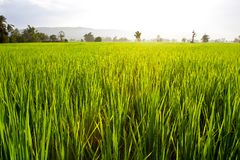 Green rice field close up Royalty Free Stock Images