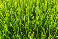 Green rice field closeup. Agriculture. Royalty Free Stock Image