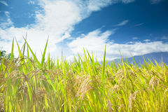 Green rice field with cloud background Stock Images