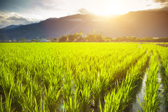 Green rice field with cloud and mountain Royalty Free Stock Image