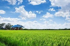 Green rice field with cloudy sky. Tropical rice field in Thailand under bright cloudy blue sky Royalty Free Stock Photos