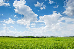 Green rice field with cloudy sky. Tropical rice field in Thailand under bright cloudy blue sky royalty free stock image