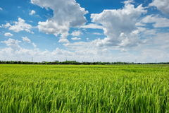 Green rice field with cloudy sky. Tropical rice field in Thailand under bright cloudy blue sky Stock Photography