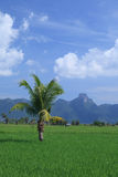 Green rice field and coconut tree in Thailand Royalty Free Stock Images