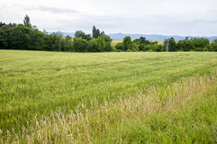 Green rice field in countryside. 1 Stock Photo