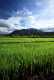Green rice field in countryside, Chiang Mai, Thailand Royalty Free Stock Photo
