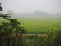 Green rice field in countryside with foggy morning Stock Image