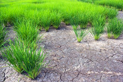 Green rice field with crack ground Stock Images