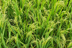 Green rice field on a day. Agriculture. Stock Photos