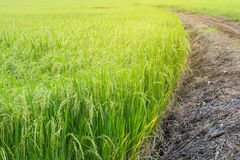 Green rice field with dirt road. Royalty Free Stock Photography