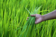 Green rice field with farmer hand Royalty Free Stock Image