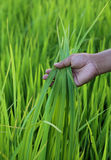 Green rice field with farmer hand Royalty Free Stock Photography