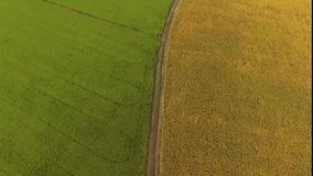 Green rice field and golden rice field in Thailand's farm. stock footage