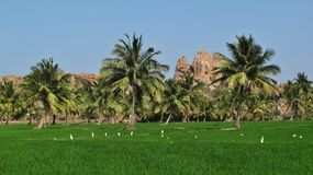 Green rice field and granite mountain in Hampi Royalty Free Stock Photos