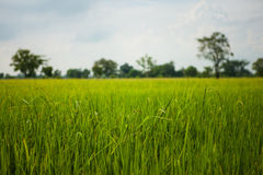 Green rice field grass with blue sky Stock Photos
