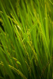 Green rice field grass with blue sky Royalty Free Stock Images
