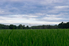 Green rice field with green morning dew waiting to be harvested Royalty Free Stock Photography