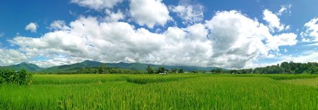 Green rice field with green mountain background and soft white c Stock Photo