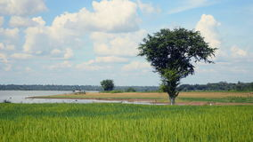 Green rice field, green paddy rice. Green paddy rice in the wind with a lake on the background stock footage