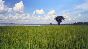 Green rice field, green paddy rice. Green paddy rice in the wind with a lake on the background stock video