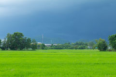 Green rice field with heavy strom background Royalty Free Stock Image
