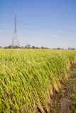 Green rice field. A green rice field with a high voltage electricity pylon in the background Royalty Free Stock Photo