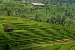 Green rice field hill with a small brown cottage in Bali. Green rice field hill with a small brown cottage at midday in Bali, Indonesia Royalty Free Stock Photography