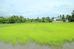 Green rice field Royalty Free Stock Photo
