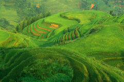 Green rice field landscape Stock Image