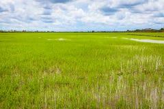 The green Rice field Stock Photos