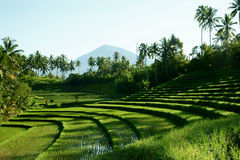 Green rice field landscape in Bali, Indonesia. Green planted rice field landscape in Bali with nobody around at midday, Indonesia Royalty Free Stock Photography