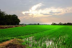 Rice field with light royalty free stock photo