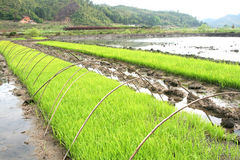 Green rice field line. Green rice paddy field line upon line Royalty Free Stock Image