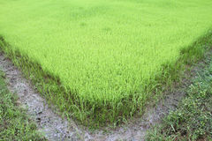 Green rice field Stock Photos