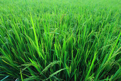 Green rice field meadow Royalty Free Stock Photography