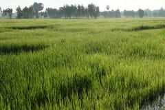 Green rice field Stock Photo