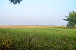 Green rice field with morning. Green paddy rice field, Here time of paddy cutting session Stock Image