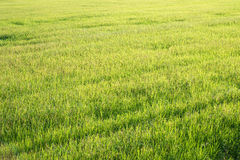 Green Rice Field with Morning Light Stock Photography
