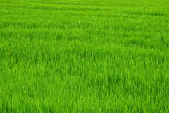 Green rice field. Stock Photos
